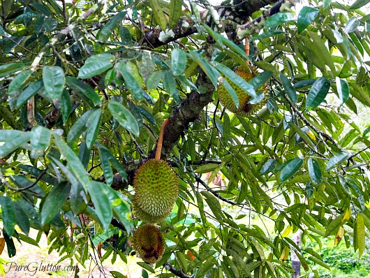 durians in tree